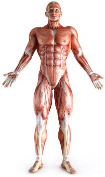 Классификация мышц