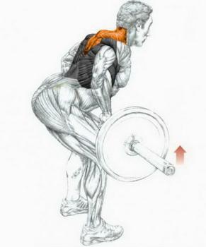 Тяга штанги в наклоне. Работа мышц